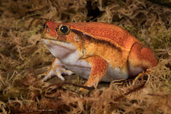 Tomato frog Royalty Free Stock Images