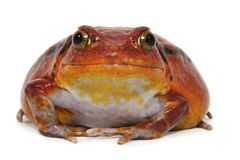 Tomato frog (Dyscophus Antongilii) Royalty Free Stock Images