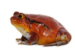 Tomato frog (Dyscophus Antongilii) Stock Photography
