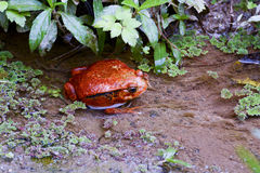 Tomato frog, dyscophus antongilii, madagascar Royalty Free Stock Photography