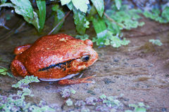 Tomato frog, dyscophus antongilii, madagascar Stock Photos