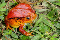 Tomato frog, dyscophus antongilii, marozevo Royalty Free Stock Photo