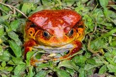 Tomato frog, dyscophus antongilii, marozevo Stock Photography