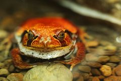 Tomato Frog Dyscophus Guineti Resting in Water Royalty Free Stock Photography