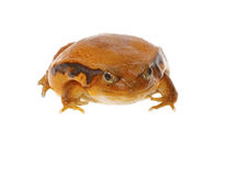Toad tomato Stock Images
