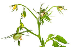 Green tomato fruit flower leaf Stock Images