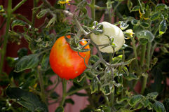 Tomato fruit on vine Royalty Free Stock Photos