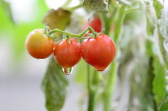 Tomato on garden Stock Images