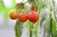 Tomato on garden Stock Images