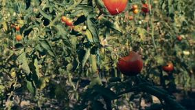 Tomato garden Royalty Free Stock Photography