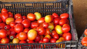 Tomato garden, Da Lat city, Lam province, Vietnam stock footage
