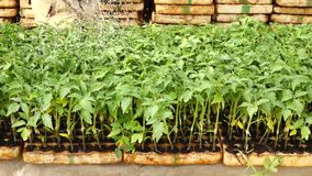 Tomato garden, Da Lat city, Lam province, Vietnam stock video footage