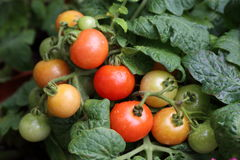 Tomato in the Garden. Grow the tomato in the garden. There are green, yellow, orange and red tomato. Hope it is sweet and tasty. It is fresh and can be used for Royalty Free Stock Photos