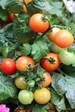 Tomato in the Garden. Grow the tomato in the garden. There are green, yellow, orange and red tomato. Hope it is sweet and tasty. It is fresh and can be used for Royalty Free Stock Images