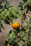 Tomato in garden Stock Photo