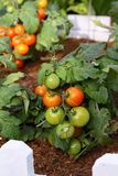 Tomato in Garden. Natural green, yellow, red juicy tomato in the organic garden by farmer. can be used for salad. Delicious Stock Photography