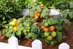 Tomato in Garden. Natural green, yellow, red juicy tomato in the organic garden by farmer. can be used for salad. Delicious Royalty Free Stock Photography