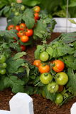 Tomato in Garden. Natural green, yellow, red juicy tomato in the organic garden by farmer. can be used for salad. Delicious Stock Photo