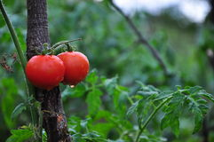 Tomato in Garden. Red and wet tomato in garden Stock Photography