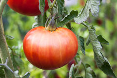 Tomato in garden. Tomato in the garden summer time Royalty Free Stock Photography