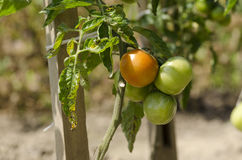 Tomato in garden Royalty Free Stock Photo
