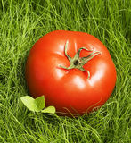 Tomato in grass stock image