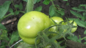 Tomato. This is a green tomato with drop of water in the garden Royalty Free Stock Photography