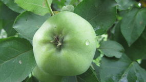 Apple. This is a green apple with drop of water in the garden Royalty Free Stock Image