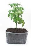 Tomato green plant in soil Stock Photo
