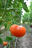 Tomato in greenhouse Royalty Free Stock Image