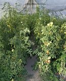 Tomato Greenhouse Stock Images
