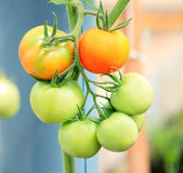 Tomato group. Two red and five green tomatoes Royalty Free Stock Image