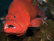 Tomato Grouper Stock Photo