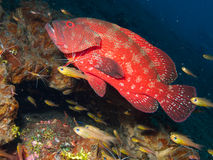 Tomato grouper being cleaned by a skunk cleaner shrimp Tulamben. A tomato grouper is cleaned by a skunk cleaner shrimp, surrounded by cardinal fish at a cleaner stock images