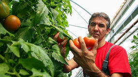 Tomato Grower in Polytunnel stock photo