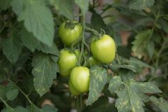 Tomato growing from the ground in greenhouse 4 royalty free stock photos