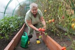 Tomato growing Royalty Free Stock Photo