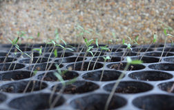 Tomato growing from seed Stock Image