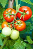 Tomato growth Stock Photos