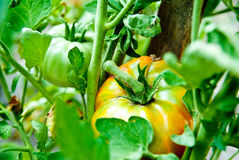 Tomato growth Stock Photography