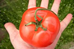 Tomato on hand. Red tomato on womans hand Stock Image