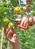 Tomato Harvest. Hands holding a pair of scissors to harvest vine ready tomatoes Stock Photo