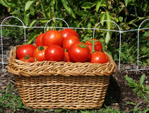 Tomato Harvest. Basket of just picked, ripe tomatoes with tomato plants in background Royalty Free Stock Photography