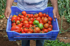 Tomato Harvest. A Farmer Holding a Blue Plastic Vegetable Crate Full of Freshly Harvested Tomatoes Ready for Market Stock Photo