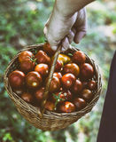 Tomato harvest Royalty Free Stock Images