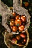Tomato harvest in autumn Stock Photos