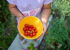 Tomato harvest. Kids hands bowl with freshly harvested tomatoes Stock Photos