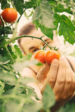 Tomato harvest Royalty Free Stock Photos