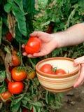 Tomato harvest Stock Images