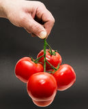 Tomato holding by hand. Twig of tomatoes holding by hand Royalty Free Stock Photography